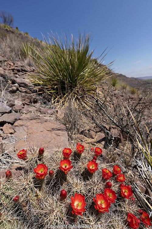 Claret Cup Cactus, Echinocereus coccineus, Indian Lodge Trail