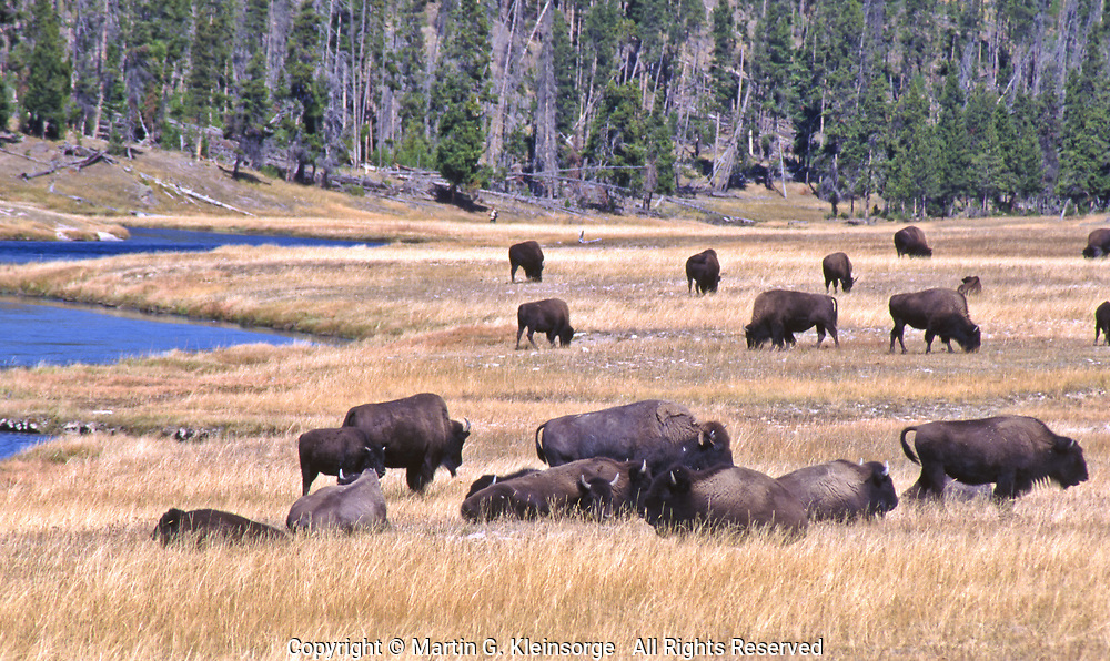 Bison grazing along the Firehole River.  Yellowstone National Park, Wyoming.