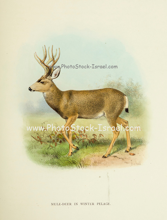 Mule Deer (Odocoileus hemionus) in Winter pelage from the book ' The deer of all lands : a history of the family Cervidae, living and extinct ' by Richard Lydekker, Published in London by Ward 1898