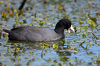 American Coot Fulica americana Green Cay Nature Area Delray Beach Florida USA