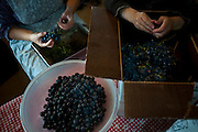 Old order Mennonite family canning grape juice and doing laundry