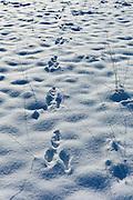 Rabbit footprints in winter snow scene in The Cotswolds, UK