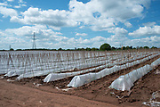 Crop of runner beans being grown in huge numbers under plastic on a farm near Hartlebury, England, United Kingdom.