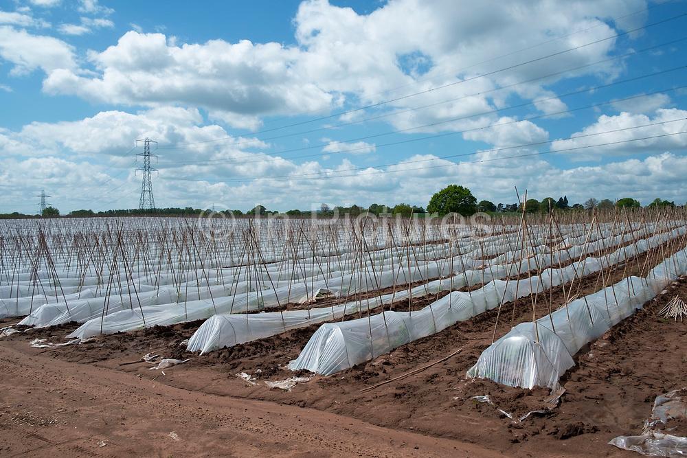 Crop of runner beans being grown in huge numbers under plastic on a farm near Hartlebury, England, United Kingdom.