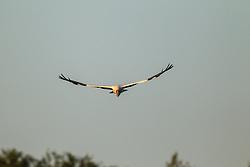 Wood Storks in flight, Lemon Lake, Great Trinity Forest near Trinity River, Dallas, Texas, USA.