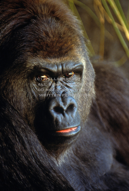 best-wildlife-photo-decor-online-by-wells-imagery, Image of a Silverback Gorilla (gorilla gorilla) face close up by Randy Wells