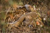 Lion cubs suckling in the shade in the Masai Mara National Park, Kenya
