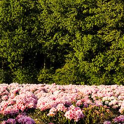 Rhododenrons bloom at a nursery in Hopkington, Massachusetts.