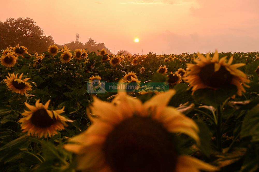 July 5, 2018 - Staro Oryahovo, Bulgaria - Sunflowers field on sunset near the Bulgarian town of Staro Oryahovo, some 450 km east the capital of Sofia, Staro Oryahovo, Varna, Bulgaria on July 05, 2018  (Credit Image: © Hristo Rusev/NurPhoto via ZUMA Press)