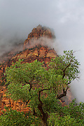 A cottonwood tree stands at the base of Mount Moroni, which is partially shrouded by storm clouds in Zion National Park, Utah. Mount Moroni is one of three dramatic peaks, which together are known as the Three Patriarchs.