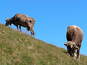 Mucche al pascolo sulle montagne occidentali del lago di Como...Cows in pasture on the west mountains of the Como lake.