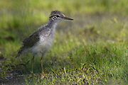Stock photo of spotted sandpiper chick captured in Colorado.  This bird is the moste widespread sandpiper in the United States.