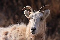 Rocky Mountain Bighorn Sheep near Exshaw, Alberta<br /> <br /> ©2009, Sean Phillips<br /> http://www.Sean-Phillips.com
