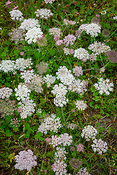 Wild carrot. Daucus carota. Queen Anne's Lace