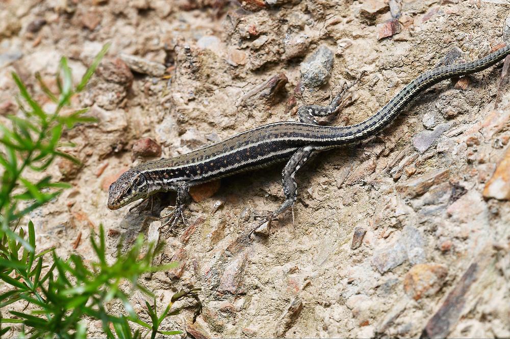 Erhard´s Wall Lizard (Podarcis Erhardii), Crete