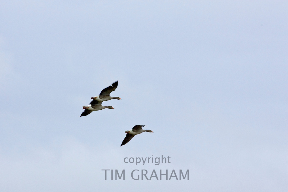 Migrating Pink-Footed geese over-wintering near Holkham, North Norfolk coast, East Anglia, Eastern England