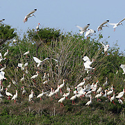 """White ibises take flight on Battery Island, as seen from the """"Solomon T"""", one of the oldest working boats in the state, a 1938 fishing boat made in the North Outer Banks that took than more a year and a half to renovate. Captain Bert Felton, a maritime history buff, gives Civl War and nature tours of the area, including birding tours of Battery Island..© Logan Mock-Bunting.(910) 262-4771.logan@scott-free.com"""