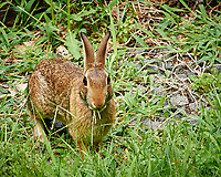 Rabbit on a Hot Summer Day. Image taken with a Nikon N1V1 camera and 10-100 mm lens.