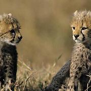 Cheetah, (Acinonyx jubatus) Portrait of cubs. Serengeti Plains. Masai Mara Game Reserve. Kenya. Africa.
