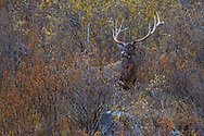 """White-lipped deer stag, Cervus albirostris, Angsai nature reserve, """"Valley of the Cats"""", Sanjiangyuan National Nature Reserve, Tibetan Plateau, Qinghai, China"""