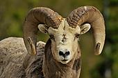Bison, goats, sheep