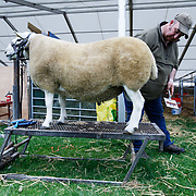 The Royal Highland Show, Scotland's annual farming and countryside showcase, organised by the Royal Highland and Agricultural Society of Scotland.  Hugh Mackenzie from Sutherland grooming a North Country Hill Cheviot type. <br /> <br /> Wednesday, June 21, 2017
