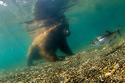 EXTREME close-up as BEAR goes in to sniff Russian wildlife photographer<br /> <br /> This is the hair-raising moment a bear moved in for an extreme close-up as it sniffed a wildlife photographer camped out in the Russian wilderness.<br /> <br /> Mike Korostelev captured pictures of the brown bear after it came within inches of his lens at his hide-out in Kuril Lake in Kamchatka, Russia.<br /> <br /> He was able to get up close and personal with the animals thanks to his self-built protective photography cage.<br /> <br /> He said: 'For pictures of the bears on the Kuril Lake, I specially built a cage of metal sticks. I brought the cage to the lake and put it on the shore, where there were a lot of salmon going to spawn.<br /> <br /> 'The cage became my home for a couple of weeks; although I spent the night in a tent on the territory of the Ranger Station.<br /> <br /> 'I sat patiently in a cage, waiting for the bears. When bears passed, I tried not to move, so they do not scare off.<br /> <br /> 'Some of them passed by, just slightly glancing at me. Some fished in front of my cage, not paying attention to me. <br /> <br /> 'And some of the most curious came to the cell and started sniffing me and my camera.<br /> <br /> 'At this point, I tried not to make a sound, and all that could be heard was the bear breathing and the sound of mosquito flies around his nose.' <br /> ©Mike Korostelev/Exclusivepix Media
