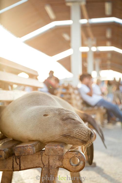 Sea Lion asleep on bench, Pier, Puerto Ayora Harbour, Santa Cruz Island, Galapagos Islands, Ecuador, South America