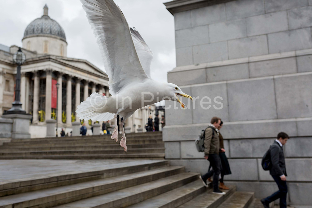 A large and aggressive seagull, squawks and looks angry as it takes-off in front of the National Gallery in Trafalgar Square, on 29th March, 2018 in London, England.