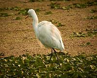 Cattle Egret. Bharatpur-- Keoladeo Ghana National Park, Rajasthan, India. Image taken with a Nikon 1 V3 camera and 70-300 mm VR lens.