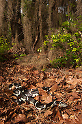 Eastern Kingsnake (Lampropeltis getula)<br /> CAPTIVE<br /> The Orianne Indigo Snake Preserve<br /> Telfair County, Georgia<br /> USA<br /> HABITAT & RANGE: Hardwood & pine forests, swamps, hammocks, tidal wetlands of Eastern USA north to New Jersey