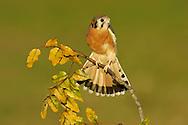 American Kestrel - Falco sparverius - Adult male