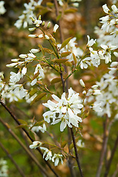 Amelanchier × grandiflora 'Ballerina' AGM in blossom in front of a beech hedge. Snowy Mespilus