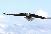 Bald Eagle, Haliaeetus leucocephalus, flying, Kenai Peninsula, Homer Spit, Homer, Alaska. Digital originall, #2006_0329 ©Robin Brandt