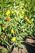 Detail shots of pepper plants.