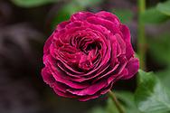Rosa 'Souvenir de Dr Jamain in a private garden in Cornwall, UK