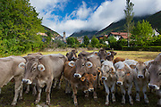 Herd of cattle in town of Biescas in Valle de Tena, Aragon, Northern Spain. RESERVED USE