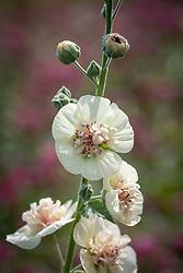 × Alcalthaea suffrutescens 'Parkallee' - Hollyhock