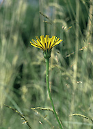 SMOOTH CAT'S-EAR Hypochaeris glabra (Asteraceae) Height to 20cm. Upright, usually hairless annual of dry grassland, mainly on sandy soils. FLOWERS are borne in heads, 10-15mm across, with yellow florets not much longer than the bracts; flower stalks only slightly swollen beneath the heads (Jun-Oct). Scales present between florets. FRUITS have some feathery hairs. LEAVES are oblong, shiny and almost hairless; arranged as a basal rosette. STATUS-Locally common only in S and E England.