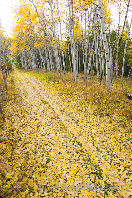 Fall foliage covers the ground along a trail in Jackson Hole, Wyoming.