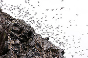 Large flocks of common guillemots (Uria aalge) flying over the bird cliff of Hornøya, Finnmark Norway.