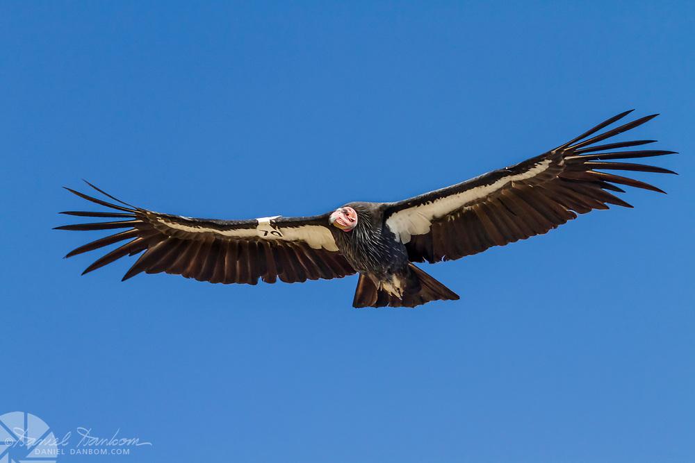 California Condor #470, sails over the cliffs along the Big Sur Coast, Highway 1, California