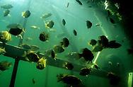 School of Rock Bass<br /> <br /> Engbretson Underwater Photo