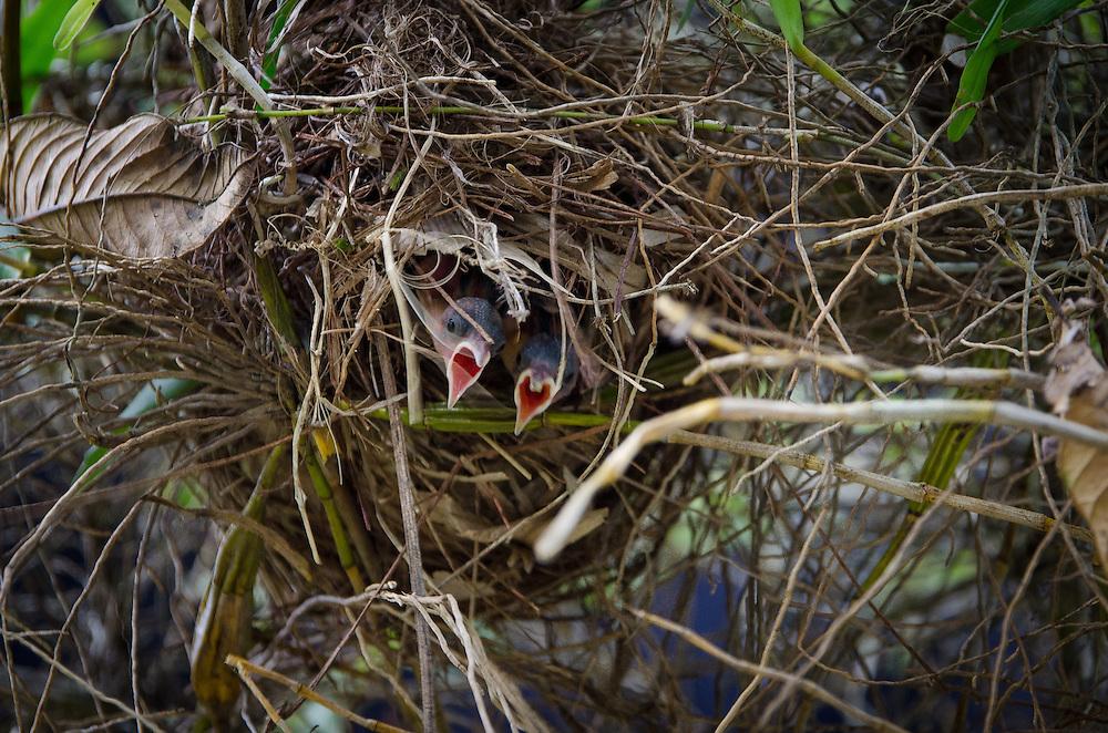 2015-05-08-Trujillo Alto, Puerto Rico- Pichones de reintias en su nido. Tanager's pigeons on the nest.
