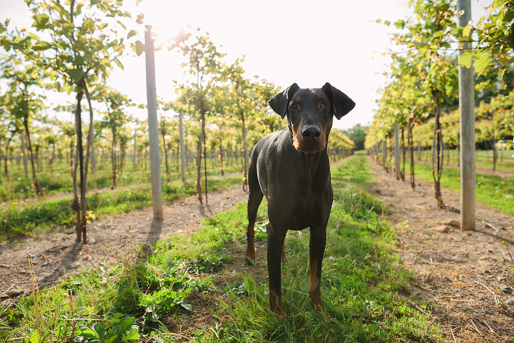 Natural eared Doberman standing looing at the camera in a vineyard