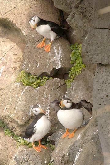Horned Puffin (Fratercula corniculata) Adults in breeding plumage on rocky cliff. St. Paul, Pribilof Islands. Alaska.