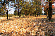 The planted truffle forest field  at La Truffe de Ventoux truffle farm, Vaucluse, Rhone, Provence, France