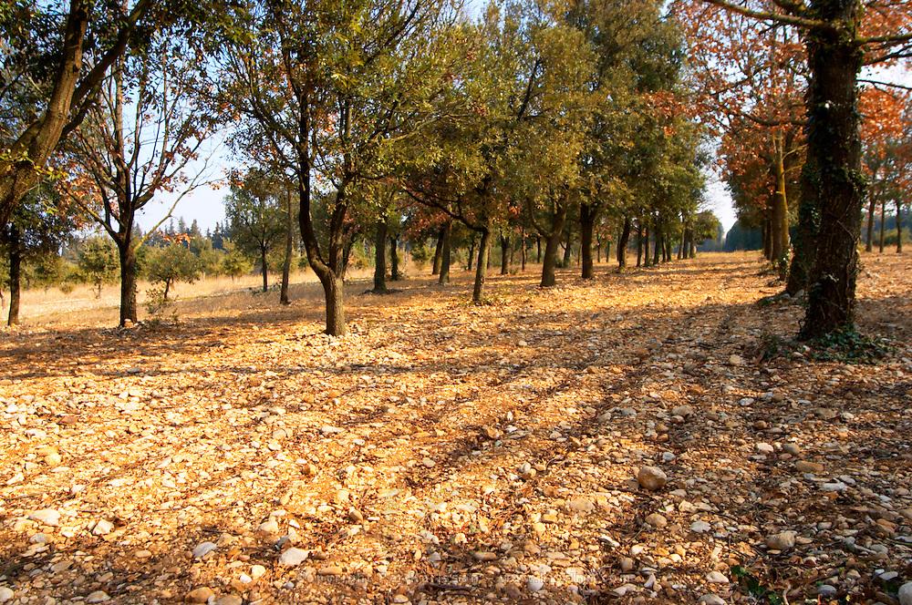 The planted truffle forest field  at La Truffe de Ventoux truffle farm, Vaucluse, Rhone, Provence, France