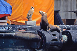 Sea Lion On Barge