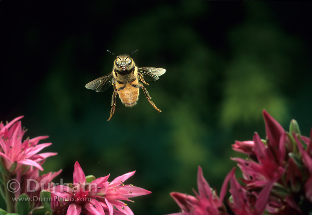 Honey bee (Apis mellifera) in flight on Sauvie Island, Oregon. Photographed with a high-speed camera at 1/30,000 of a second. July 2001. Please Note: This image has been cropped from a 35mm frame.